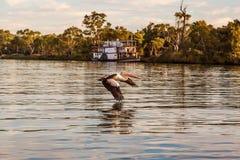 De pelikaan vloog Royalty-vrije Stock Afbeelding