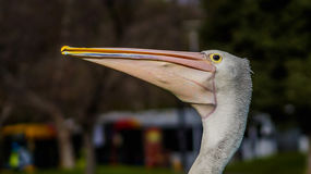 De pelikanen Stock Foto