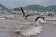 De Pelikanen en de Zeemeeuwen van vogels tijdens de vlucht over branding Stock Foto's