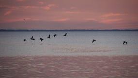 De pelikanen herstellen na Zonsondergang St Josephs tijdens de vlucht Baai Royalty-vrije Stock Foto