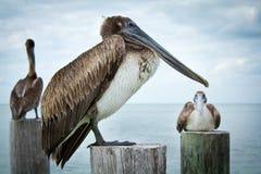De pelikanen sluiten omhoog royalty-vrije stock foto's