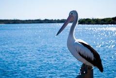 De Pelikanen van de Batemansbaai Royalty-vrije Stock Afbeelding