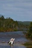 De Pelikanen van Noosa stock fotografie