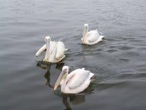 De pelikanen varen op een overzeese vlotte oppervlakte Stock Fotografie
