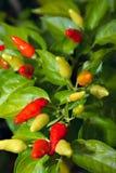 De peper van Spaanse pepers op struik  Stock Foto
