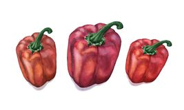 De peper van waterverfcapcicum op witte achtergrond wordt geïsoleerd die royalty-vrije illustratie
