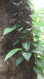 De peperwijnstok van pijpernigrum Stock Afbeeldingen