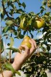 De peren van de oogst in een tuin Royalty-vrije Stock Afbeelding