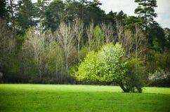 De perenboom van de de lentebloesem onder blauw hemelhoogtepunt van wolken Kleurrijke foto met ruimte voor uw montering Stock Foto's