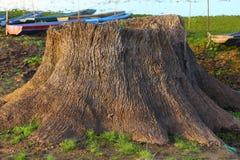 De perenna träden dör Arkivfoton