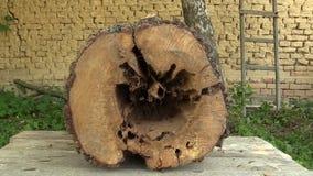 De perenpyrus communis door insecten, boom wordt aangevallen houten-te vernietigen sneed boomstam zeer aangevallen houtworm door  stock videobeelden