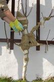 De persoon maakt jonge fruitboom voor de winter klaarmaken Royalty-vrije Stock Foto