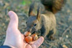 de persoon voedt de eekhoorn royalty-vrije stock afbeelding