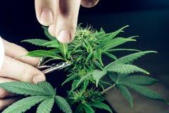 De persoons in orde makende bladeren van het medische close-up van de marihuanainstallatie Cannabisinstallatie die binnen groeien royalty-vrije stock foto