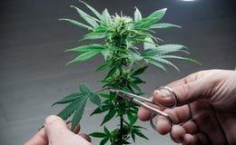 De persoons in orde makende bladeren van het medische close-up van de marihuanainstallatie Cannabisinstallatie die binnen groeien royalty-vrije stock afbeelding