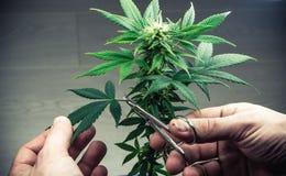 De persoons in orde makende bladeren van het medische close-up van de marihuanainstallatie Cannabisinstallatie die binnen groeien stock afbeelding