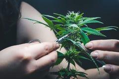 De persoons in orde makende bladeren van het medische close-up van de marihuanainstallatie Cannabisinstallatie die binnen groeien stock afbeeldingen
