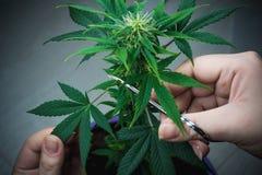 De persoons in orde makende bladeren van het medische close-up van de marihuanainstallatie Cannabisinstallatie die binnen groeien royalty-vrije stock afbeeldingen