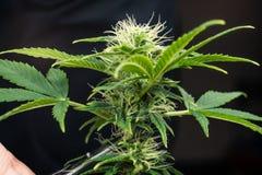 De persoons in orde makende bladeren van het medische close-up van de marihuanainstallatie Cannabisinstallatie die binnen groeien royalty-vrije stock fotografie
