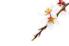 De perzik bloeit macro Royalty-vrije Stock Foto's