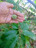 De perzik is een zacht, sappig en vlezig fruit stock foto's