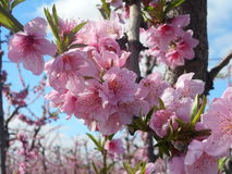 De perzik komt 1 tot bloei Royalty-vrije Stock Foto's