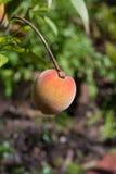 De perzik van Florida Stock Afbeeldingen