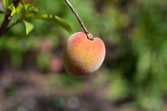 De perzik van Florida Stock Afbeelding