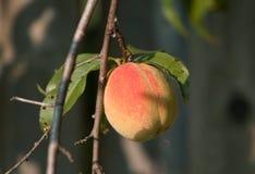 De perzik van Ontario (Prunus persica) Royalty-vrije Stock Fotografie