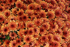 De Perzik van tuinmum, Chrysantenmorifolium Royalty-vrije Stock Foto