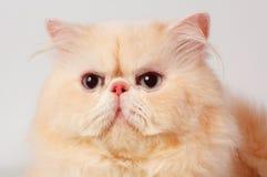 De Perzische kat Stock Afbeelding