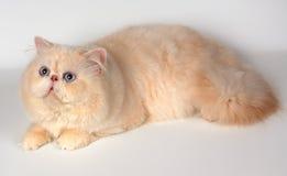 De Perzische kat Stock Afbeeldingen