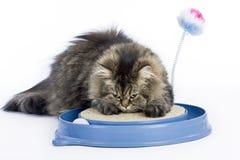 De Perzische kat scherpt zijn klauwen Royalty-vrije Stock Afbeelding