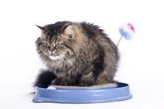 De Perzische kat scherpt zijn klauwen Royalty-vrije Stock Foto's