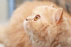 De Perzische kat van de close-up Stock Afbeeldingen