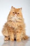 De Perzische kat van de gember stock foto