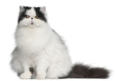 De Perzische kat van de Harlekijn, 6 maanden oud, het zitten Stock Afbeelding