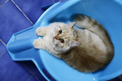De Perzische kat ziet eruit royalty-vrije stock foto