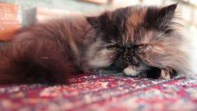 De Perzische katslaap op tapijt, sluit omhooggaand en laag hoekschot stock videobeelden
