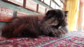 De Perzische katslaap op tapijt, sluit omhooggaand en laag hoekschot stock video