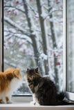 De Perzische katten kijken uit het venster op het de winterpark met bomen Stock Fotografie