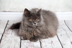 De Perzische Witte Vloer van Cat Sitting On The Wooden Stock Foto