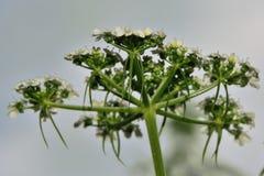 De peterselie van de dwaas (Aethusa-cynapium) royalty-vrije stock fotografie