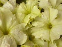 De petunia van bloemen Royalty-vrije Stock Foto's