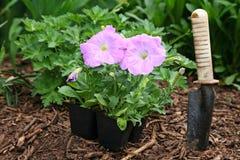 De Petunia van de tuin stock afbeeldingen