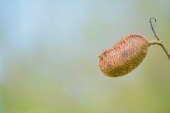 De peul Bixa Orellana van de lippenstiftboom in Cedar Point Environmental Reserve in Sarasota-Provincie Florida royalty-vrije stock afbeelding