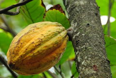 De peul van de cacao Stock Afbeeldingen