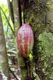 De peul van de cacao Stock Foto's