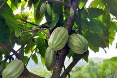 De peul van de cacao op boom stock foto