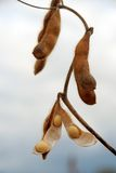 De peul van de soja op een gebied klaar te oogsten Royalty-vrije Stock Foto's